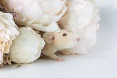 Nahaufnahmefoto der kleinen netten weißen Ratte in schönem blühendem Cherry Tree verzweigt sich stockfotografie