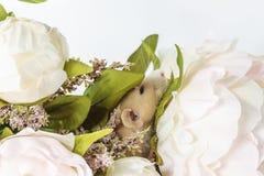 Nahaufnahmefoto der kleinen netten weißen Ratte in schönem blühendem Cherry Tree verzweigt sich lizenzfreie stockbilder
