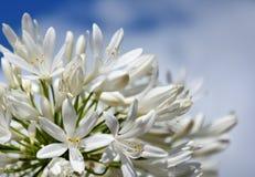 Nahaufnahmefoto der Lilie des Nils, African auch angerufen Blume der weißen Lilie Lizenzfreies Stockbild