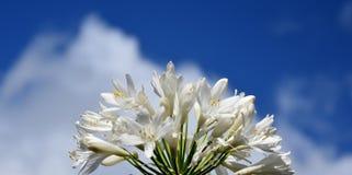 Nahaufnahmefoto der Lilie des Nils, African auch angerufen Blume der weißen Lilie Lizenzfreies Stockfoto