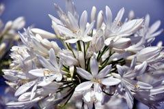 Nahaufnahmefoto der Lilie des Nils, African auch angerufen Blume der weißen Lilie Stockbild