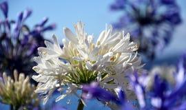 Nahaufnahmefoto der Lilie des Nils, African auch angerufen Blume der weißen Lilie Stockfotografie