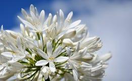 Nahaufnahmefoto der Lilie des Nils, African auch angerufen Blume der weißen Lilie Stockbilder