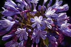 Nahaufnahmefoto der Lilie des Nils, auch genannt Lilienblume African Blue Stockfotos