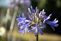 Nahaufnahmefoto der Lilie des Nils, auch genannt Lilienblume African Blue Stockfotografie