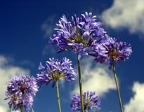 Nahaufnahmefoto der Lilie des Nils, auch genannt Lilienblume African Blue Stockbilder
