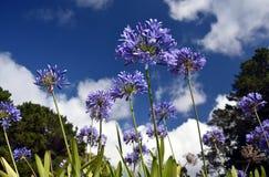 Nahaufnahmefoto der Lilie des Nils, auch genannt Lilienblume African Blue Lizenzfreie Stockfotos