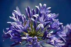 Nahaufnahmefoto der Lilie des Nils, auch genannt Lilienblume African Blue Stockbild
