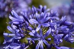 Nahaufnahmefoto der Lilie des Nils, auch genannt Lilienblume African Blue Lizenzfreies Stockfoto