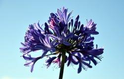 Nahaufnahmefoto der Lilie des Nils, auch genannt Lilienblume African Blue Stockfoto