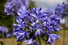 Nahaufnahmefoto der Lilie des Nils, auch genannt Lilienblume African Blue Lizenzfreie Stockbilder