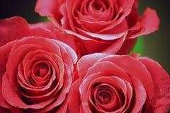 Nahaufnahmefoto der schönen Rose stockfoto