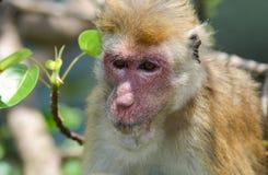 Nahaufnahmefoto des alten Affen mit rotem Gesicht. Stockbilder