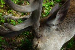 Nahaufnahmefoto des europäischen Rotwildkopfes Stockbilder