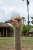 Nahaufnahmefoto des netten Emuvogels Stockbild