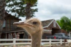 Nahaufnahmefoto des netten Emuvogels Stockfotografie