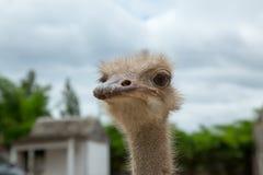 Nahaufnahmefoto des netten Emuvogels Stockfotos