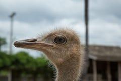 Nahaufnahmefoto des netten Emuvogels Stockbilder