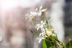 Nahaufnahmefoto des weißen Frühlinges blüht - Oxalis-acetosella in Lizenzfreie Stockfotografie