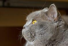 Nahaufnahmefoto eines grauen Katze ` s Kopfes mit gelben Augen stockbild