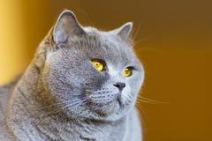 Nahaufnahmefoto eines grauen Katze ` s Kopfes mit gelben Augen stockfotografie