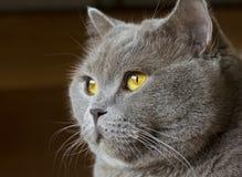 Nahaufnahmefoto eines grauen Katze ` s Kopfes mit gelben Augen lizenzfreie stockfotografie