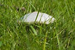 Nahaufnahmefoto eines Pilzes - Champignon, der auf einem grünen Gesetz wächst Lizenzfreie Stockbilder