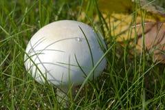 Nahaufnahmefoto eines Pilzes - Champignon, der auf einem grünen Gesetz wächst Stockfotos