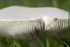 Nahaufnahmefoto eines Pilzes - Champignon, der auf einem grünen Gesetz wächst Stockbild