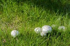 Nahaufnahmefoto eines Pilzes - Champignon, der auf einem grünen Gesetz wächst Lizenzfreies Stockfoto