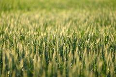 Nahaufnahmefoto etwas frischen Weizens lizenzfreies stockfoto