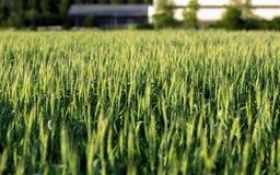 Nahaufnahmefoto etwas frischen Weizens lizenzfreies stockbild