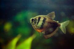Nahaufnahmefoto von Fischen Barbus im Aquariumwasser Hintergrund der abstrakten Kunst Stockfotografie