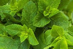 Nahaufnahmefoto von frischen tadellosen Blättern Stockbilder