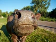 Nahaufnahmefoto von Kuh ` s Nase Lizenzfreies Stockfoto
