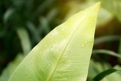 Nahaufnahmefoto von Regentropfen auf frischem grünem Blatt des Nestfarns des Vogels unter Sonnenlicht, ist eine epiphytic Anlage  stockfotos