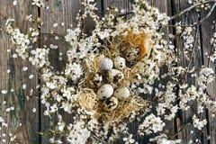 Nahaufnahmefoto von schönen Wachteleiern im Nest mit weißem blühendem Cherry Tree verzweigt sich auf Holztischhintergrund Lizenzfreie Stockfotografie