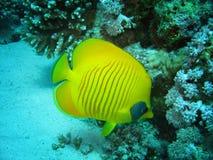 Nahaufnahmefoto von Schmetterlingsfischen es gehört zu der Koralle in den wild lebenden Tieren lizenzfreies stockfoto
