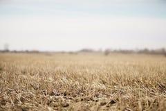 Nahaufnahmefoto von trockenen gras auf ländlichem Feld im Vorfrühling mit Wald hinten Lizenzfreie Stockfotos