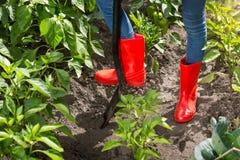 Nahaufnahmefoto von weiblichen Füßen in den roten Gummistiefeln, die Erde im Garten mit Spaten graben Stockfoto