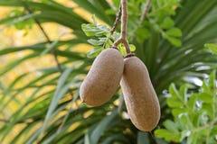 Nahaufnahmefrucht des Wurstbaums (Kigelia) wachsend in Adelaide, Sou Stockbild