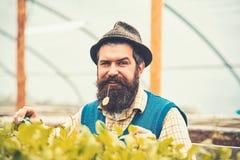 Nahaufnahmegärtner im Fedorahut Samen pflanzend Bärtiger Mann mit den blauen Augen, die Gartenarbeitgabel beim Kauen des Grüns ha lizenzfreies stockbild