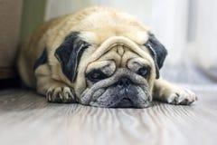 Nahaufnahmegesicht eines netten Hundpug stockbild