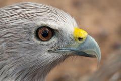 Roter Falke. Lizenzfreies Stockbild