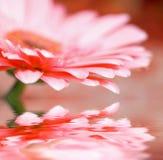 Nahaufnahmegänseblümchen - gerber mit weichem Fokus Lizenzfreie Stockfotografie