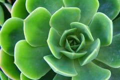 Nahaufnahmegrüner Aeonium Stockfotos
