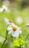 Nahaufnahmegrasblume Stockfotos