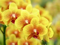 Nahaufnahmegruppe von gelben Orchideen mit unscharfem Hintergrund Stockfoto