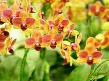 Nahaufnahmegruppe von gelben Orchideen mit unscharfem Vordergrund und Ba Lizenzfreies Stockbild