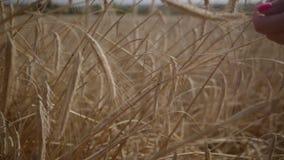 Nahaufnahmehand der sorglosen Frau gelbe Weizenährestellung auf der Feldnahaufnahme berührend Verbindung mit Natur stock video footage